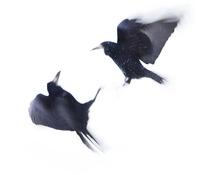 black raven 4
