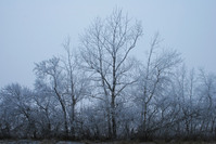 hoary frost branches
