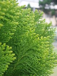 Pine Close Ups