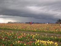 Tulip Farm 6