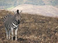 Zebra in Africa 1