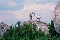Goats in heaven