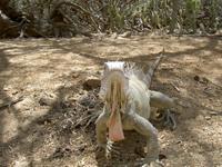 iguana from nearby 1