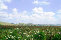 Rose Field 3