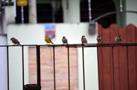 Yellow bird 2