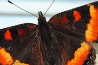 Orange Butterfly 3