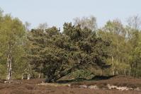 Wind-swept Tree