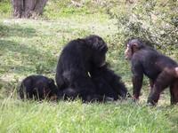 chimps 1