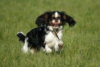 happy dog running in grass