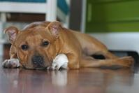 Ebbi, Staffordshire Bull Terrier 1