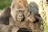 Gorilla Wildlife 3