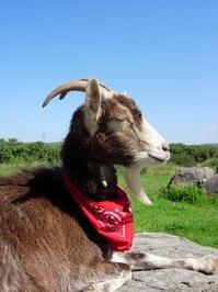 goats do roam
