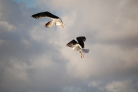 Sea Gull_1_11.08.2005