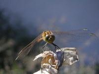 dragon-fly 2