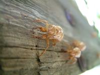 17 Yr Cicada 5