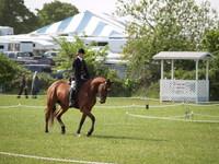 Bay Dressage Horse