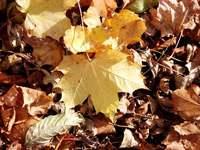 Texture - Autumn oak leaves