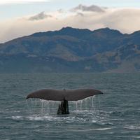Sperm whale dives 3