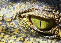 Nile Crocodile Eye