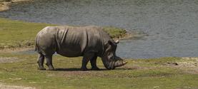Rhinoceros 1