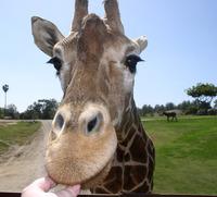 Giraffe Up Close 4