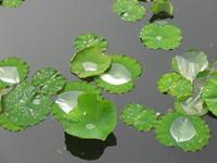 Korakuen Water Lilies