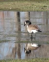 Reflecting Goose