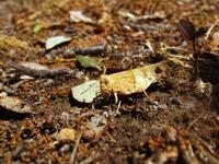 Macro Grasshopper or Cricket 2