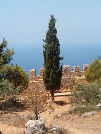 Turkish Cypress