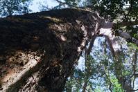 Knysna Tree