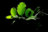 Black Magic Leaves