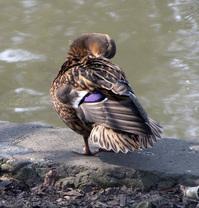 Duck 5