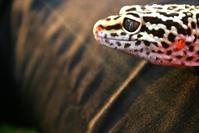 geco lizard 5