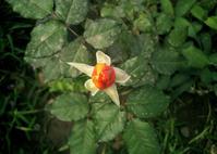 Babe Flower