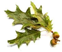 Oak leaves/Acorns