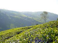 tea plantage