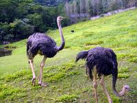 avestruzes walking