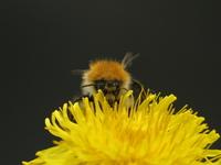 Bumbel Bee 4