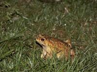 night frog 1