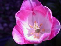 Pink Tulip - Closeup