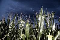 silver corn