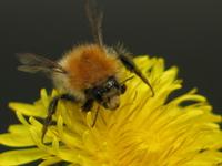 Bumbel Bee 1