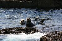 Atlantic Grey Seals 2