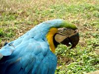 Arara - macaw
