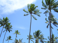 palms tree 3