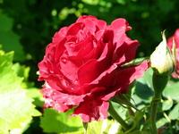 Rose after rain 3