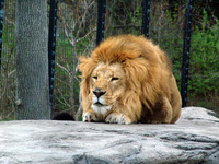 Lion Crouching
