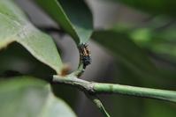 Larva de catarina