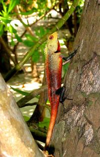 maldivian lizard