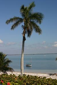Useppa Palm